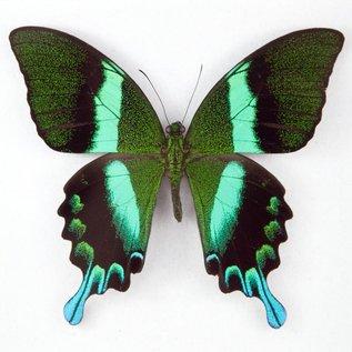 Papilionidae Papilio blumei fruhstoferi M A1 Indonesia