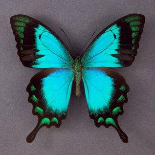 Papilionidae Papilio lorquinianus albertisi M A1 Indonesia