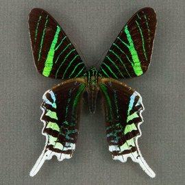 Uraniidae Urania leilus M A1 Peru