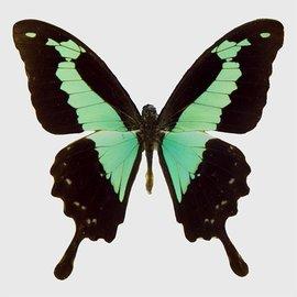 Papilionidae Papilio phorcas M A1 RCA