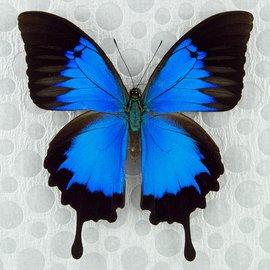 Papilionidae Papilio ulysses autolycus M A1 Papua New Guinea