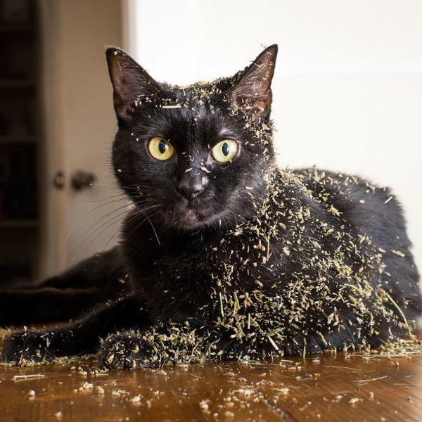 Petlinks Pure Bliss Organic Catnip