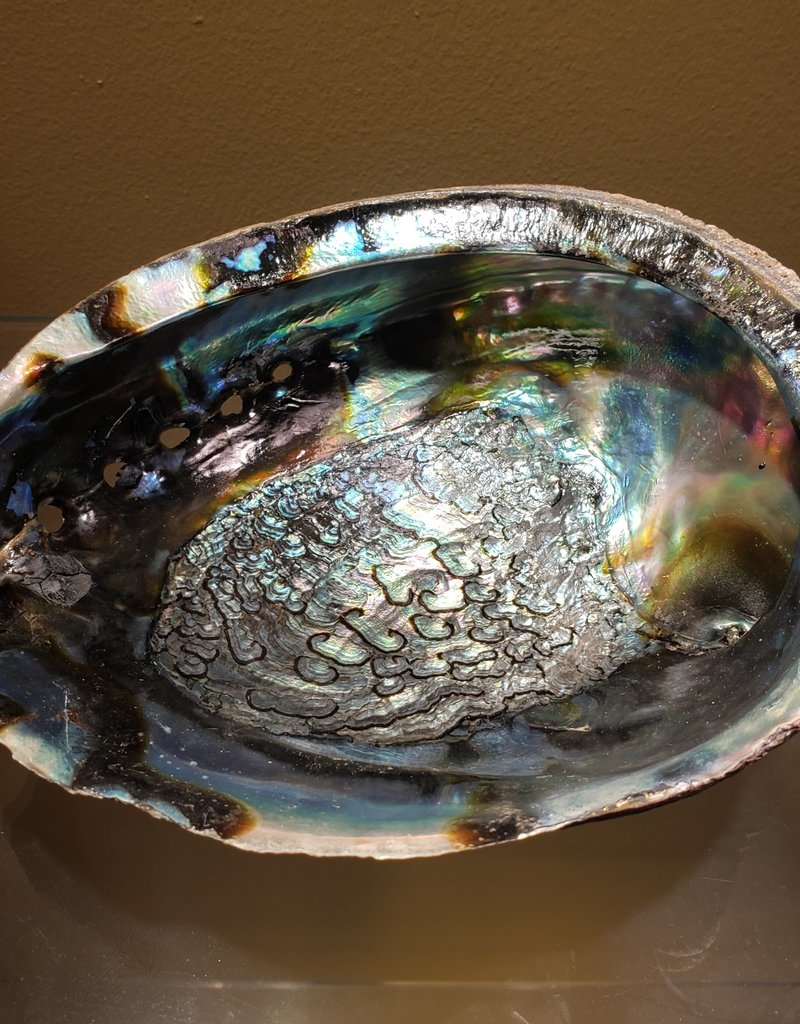 Abalone Shell - 7 - 8 inches
