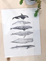6 Cetacean Species Print