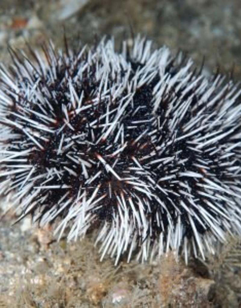Purl Diver Collection Sea Urchin