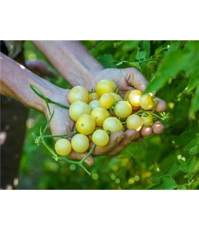 Baker Creek Tomato - Napa Chardonnay Blush Seed