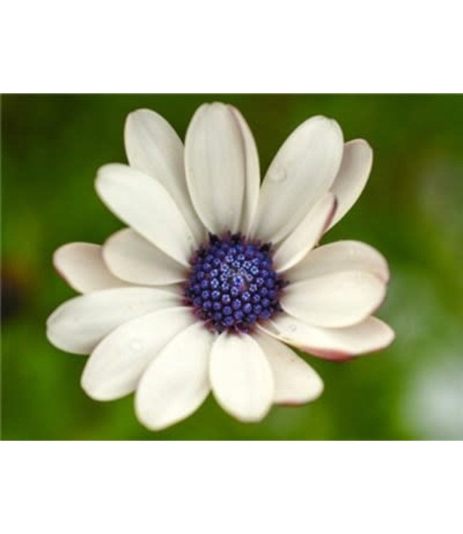 Baker Creek African Daisy - Blue Disc Seed