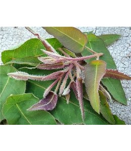 Baker Creek Eucalyptus citriodora - Lemon Scented Gum Seed