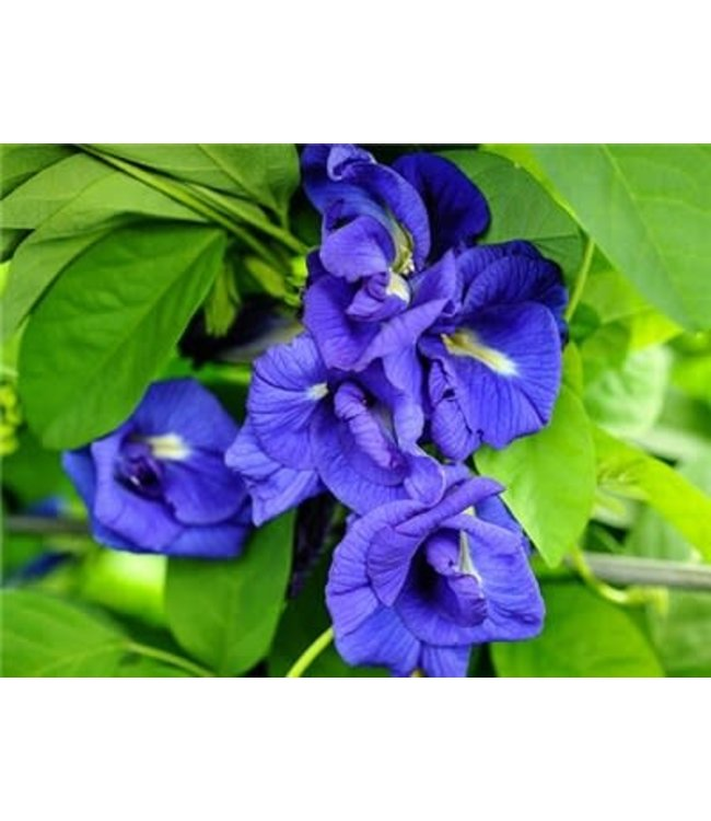 Baker Creek Thai Double Blue Butterfly Pea Seed