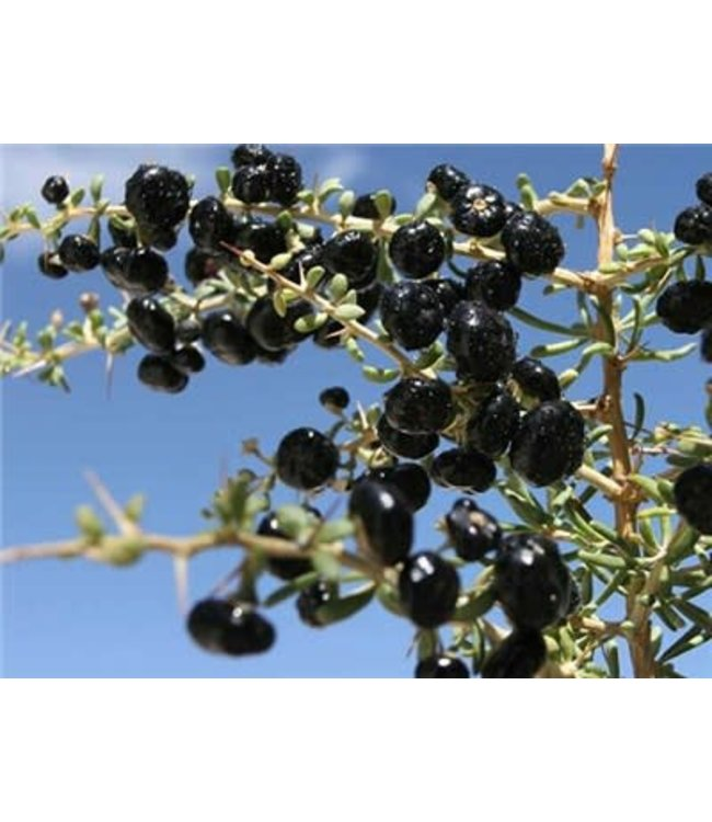Baker Creek Goji Berry - Black Seed (Black Wolfberry)