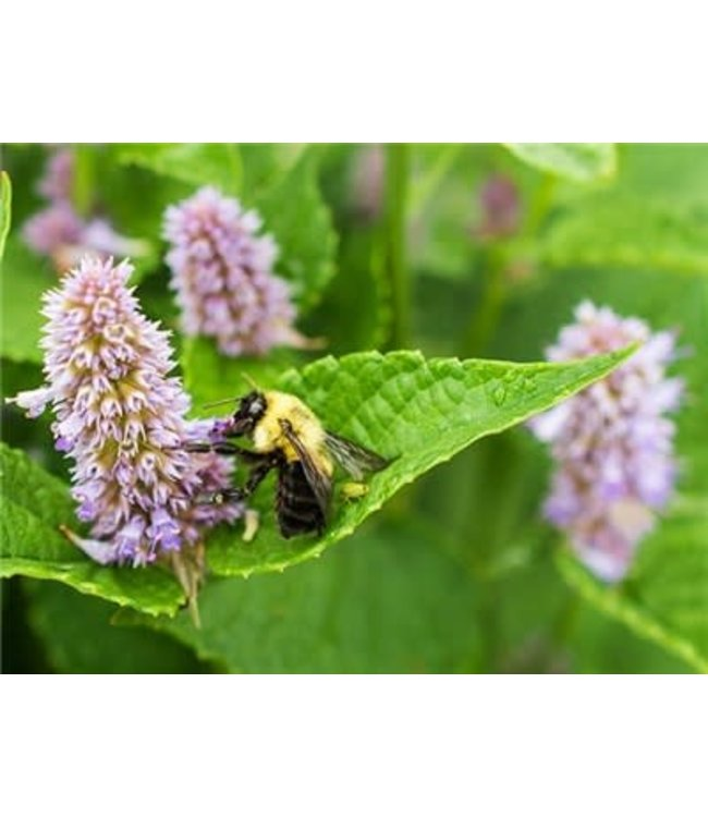 Anise Hyssop Seed