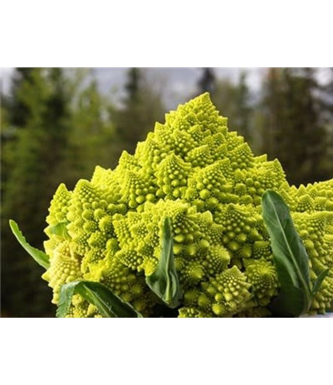 Baker Creek Broccoli - Romanesco Italia Seed