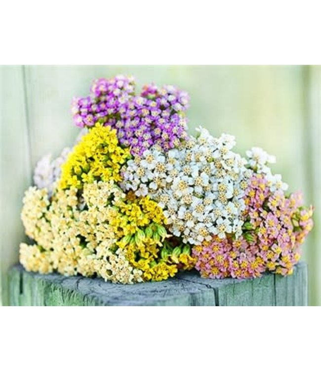 Baker Creek Yarrow - Colorado Mix Seed