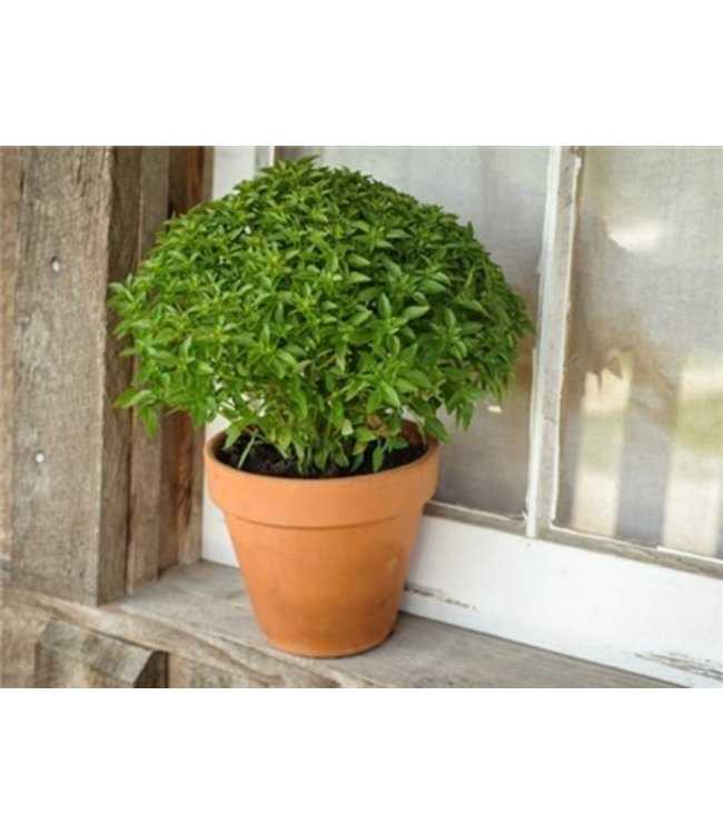 Baker Creek Basil - Greek Dwarf Seed