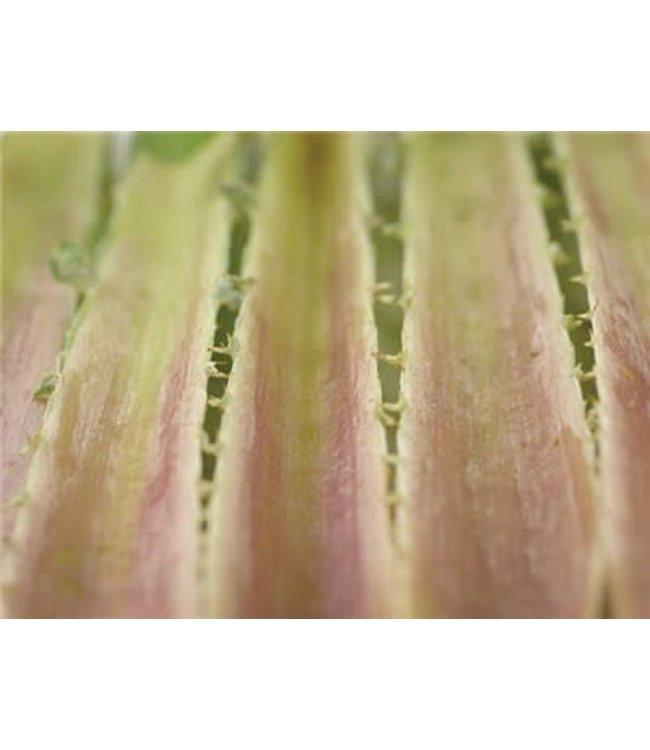 Baker Creek Cardoon - Rouge D'alger Seed