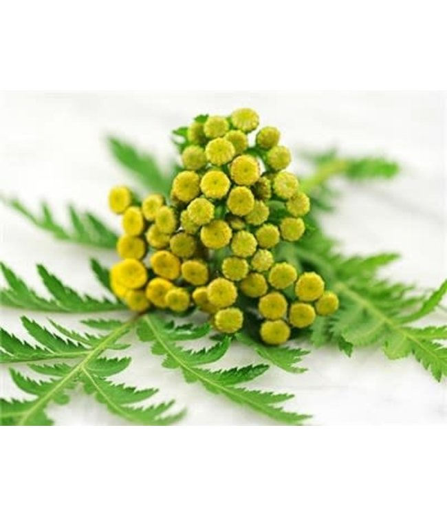 Baker Creek Tansy Seed