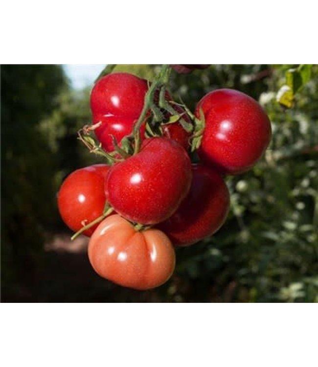 Baker Creek Tomato - Rutgers Seed
