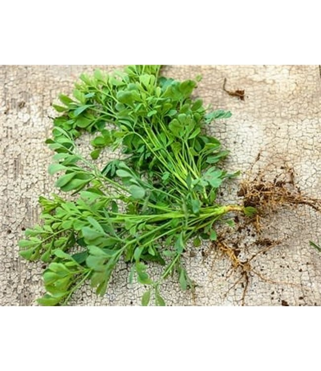 Baker Creek Rue Herb O'Grace Seed