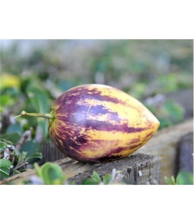 Baker Creek Melon - Pepino Seed