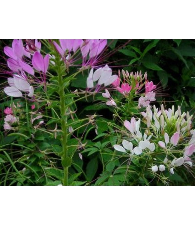 Southern Exposure Cleome - Queen Mix
