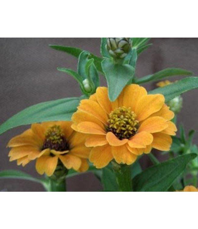 Southern Exposure Zinnia - Peruviana Yellow