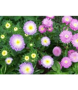 Aster - Powder Puff Mixed Colors