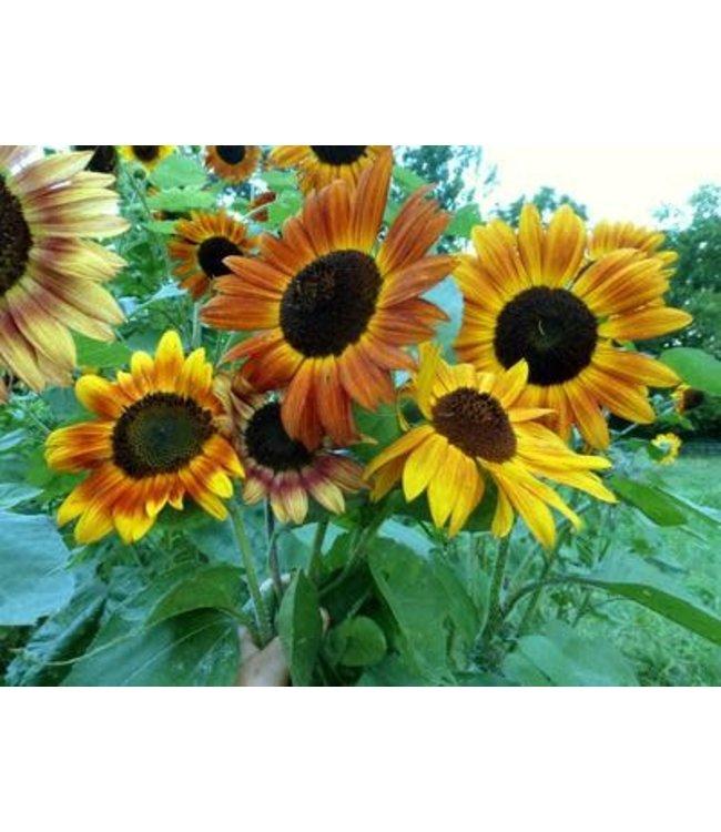 Southern Exposure Sunflower - Velvet Queen