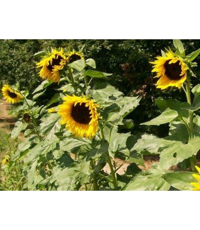 Sunflower - Hopi Dye