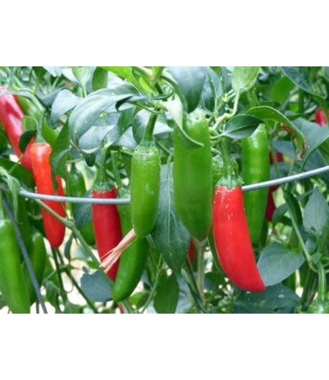 Southern Exposure Pepper - Serrano Tampiqueno