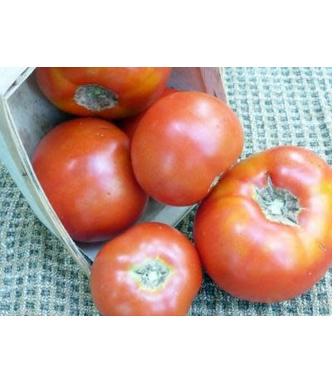 Southern Exposure Tomato - Abraham Lincoln