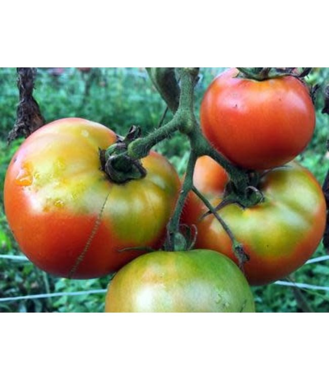 Southern Exposure Tomato - Marglobe VF