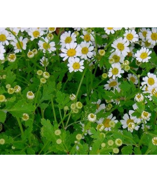 Southern Exposure Herb - Feverfew