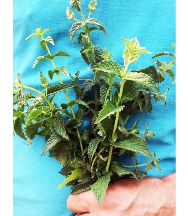 Southern Exposure Herb - Mint