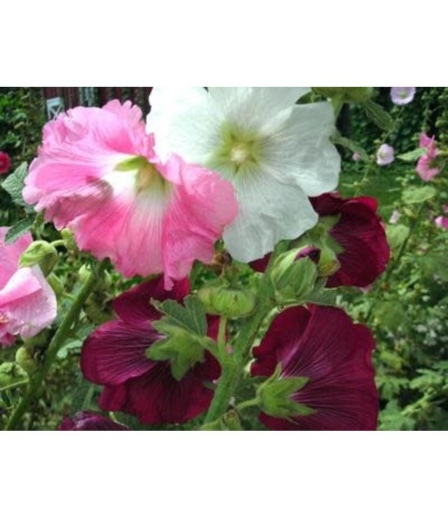 Hollyhock - Outhouse