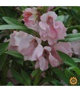 Sow True Seed Impatiens - Pink Balsam
