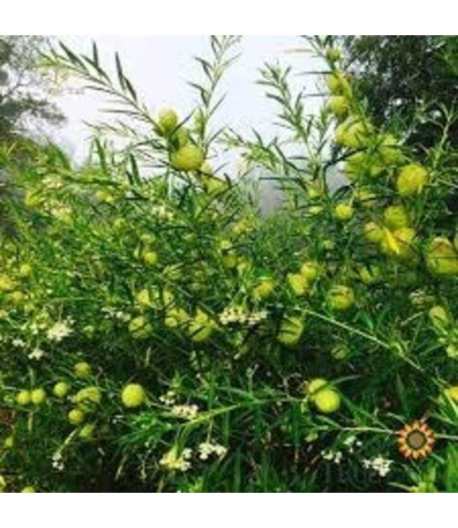 Sow True Seed Milkweed - Balloon