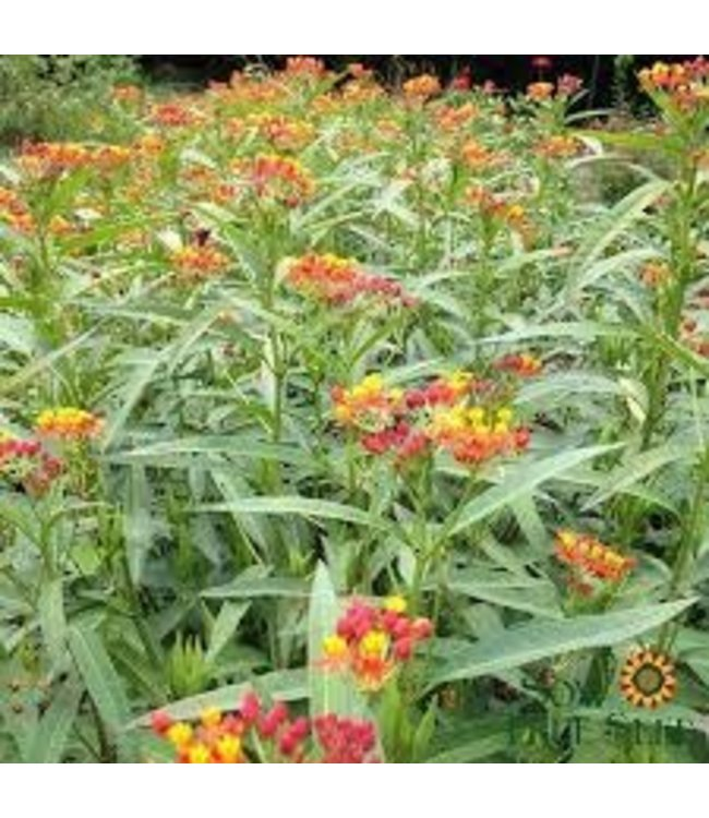 Sow True Seed Milkweed - Bloodflower