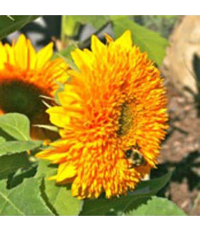 Sow True Seed Sunflower - Teddy Bear