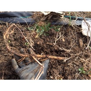 Beer and Wine Chinook Hop Rhizome