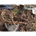 Beer and Wine Nugget Hop Rhizome