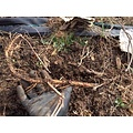 Beer and Wine Brewers Gold Hop Rhizome