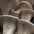 Mushroom Mountain Cold Blue Oyster Mushroom Plug Spawn - 100 count