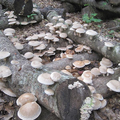 Mushroom Mountain Wild Hot Shiitake Plug Spawn - 100 count