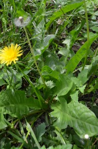 Dandelion: A Safe Herb for Pets and People