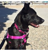 """2 hounds Design 2 Hounds Design Freedom No-Pull Harness 1""""  Extra Large (XL) Raspberry"""