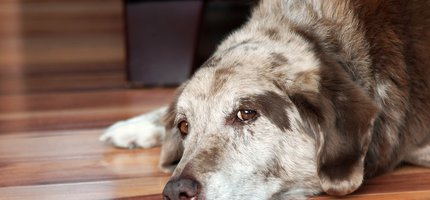 November is National Senior Pet Month: The Health of Aging Pets is Critical For Longevity