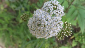Yarrow: An Herb That Heals Wounds in Cats and Dogs