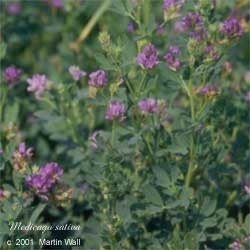 Alfalfa Leaf Powder Bulk