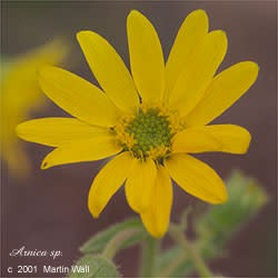 Arnica Flowers Cut and Sifted Bulk