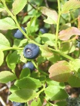 Bilberry Fruit Whole Bulk